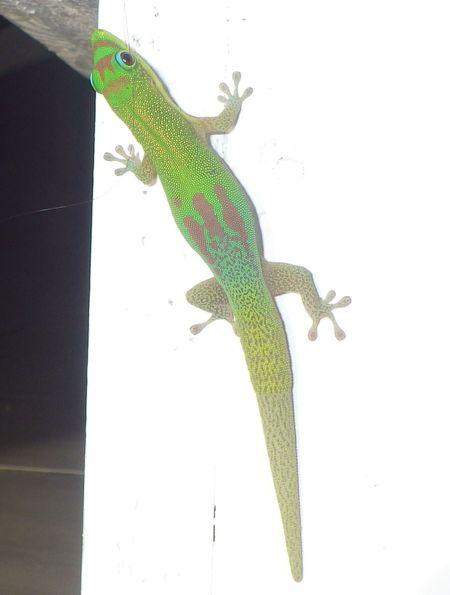 Gecko vert à trois taches rouges  - Jean-Francois Cornuaille