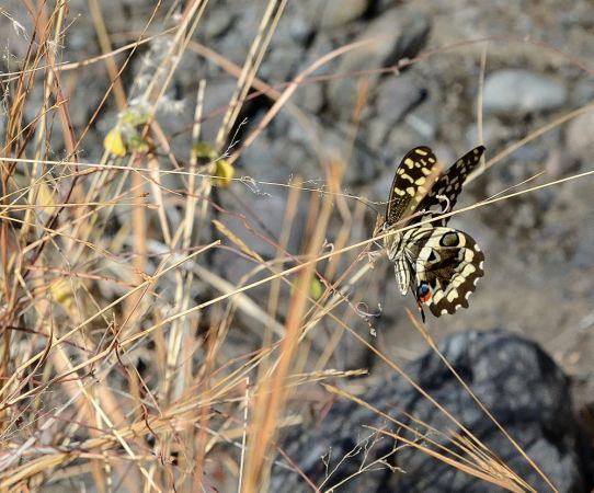 Papillon de Vinson  - Michel Yerokine