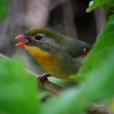 Léiothrix jaune  - Henze Frédéric
