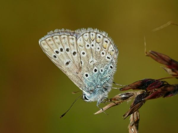 Azuré commun (Argus bleu)  - Patrick Fossard