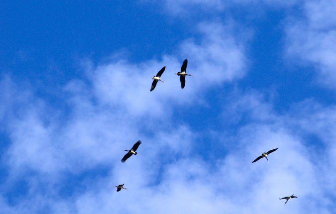 Cigogne noire  - Sylvain Anthoine
