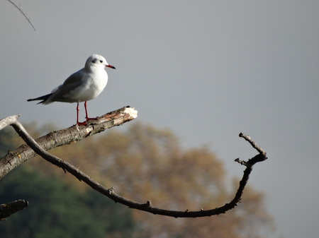 Mouette rieuse  - Gilbert Jullian