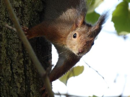 Ecureuil roux  - Gilbert Jullian
