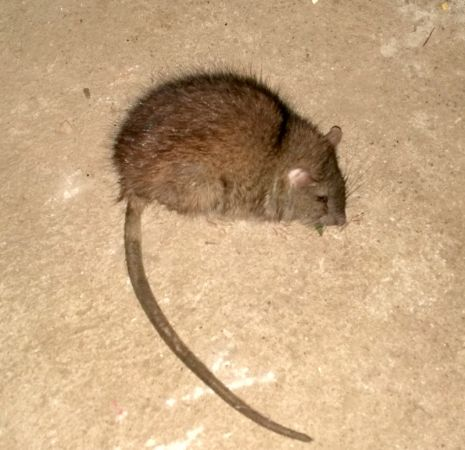 Rat surmulot  - Bertrand di Natale