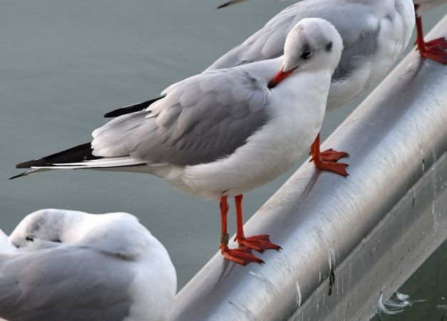 Mouette rieuse  - Kevin Guille