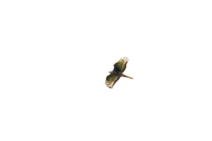 Bondrée apivore  - Ile Du Beurre (conib)(CONIB)