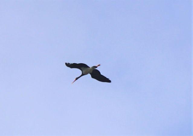 Cigogne noire  - Paul Adlam