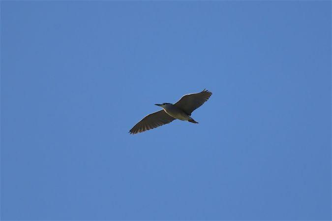Bihoreau gris  - Violaine Moulis