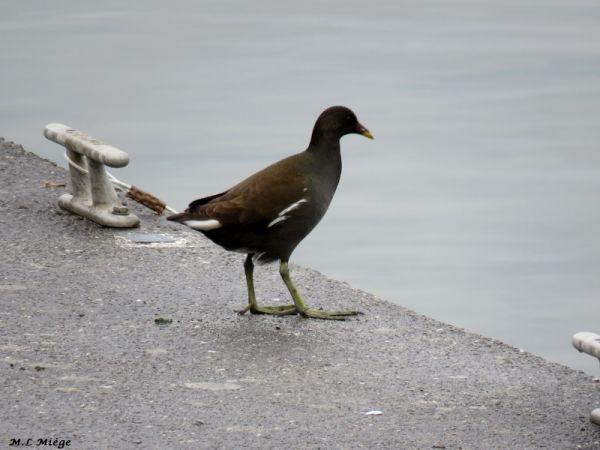 Gallinule poule-d'eau  - Marie-Laure Miège