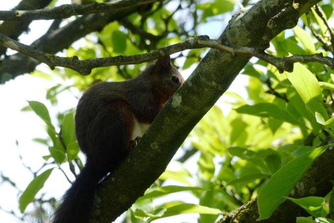 Ecureuil roux  - Dominique Robin
