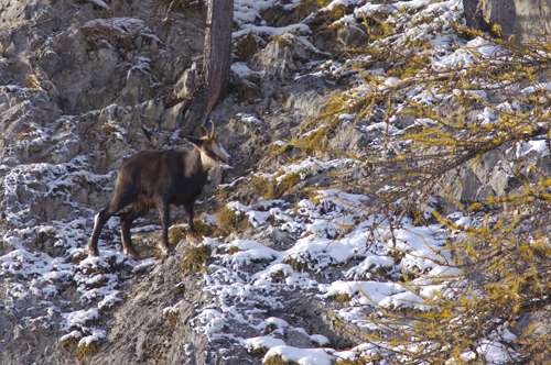 Chamois  - Isabelle Battentier