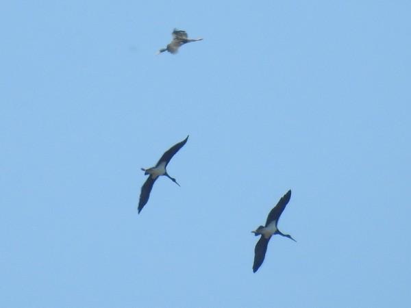 Cigogne noire  - Grégory Cantaloube