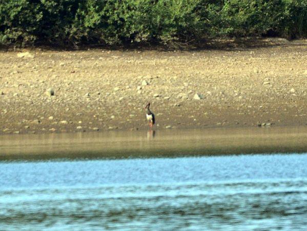 Cigogne noire  - Gérard Alric
