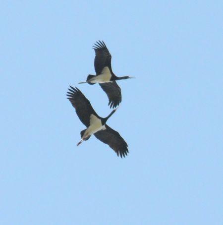 Cigogne noire  - Jean Philippe Berlic