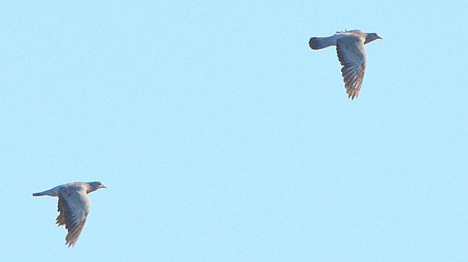 Pigeon colombin  - Gérard Alric