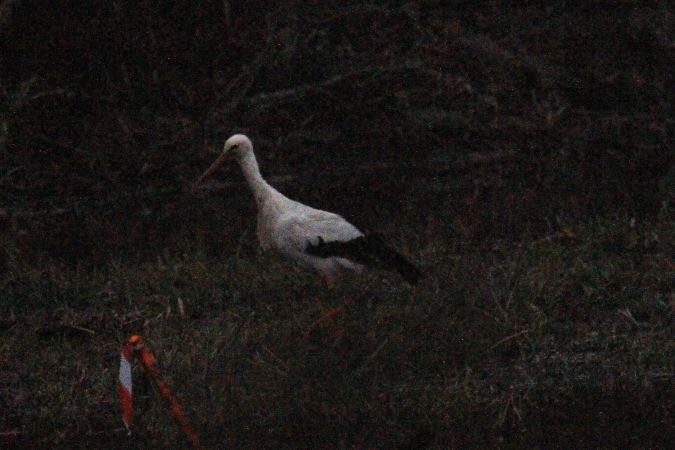 Cigogne blanche  - Michel Lascombes