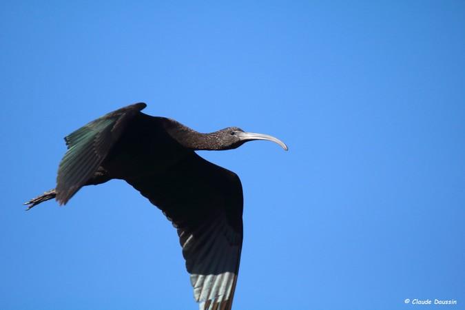 Ibis falcinelle  - Claude Daussin