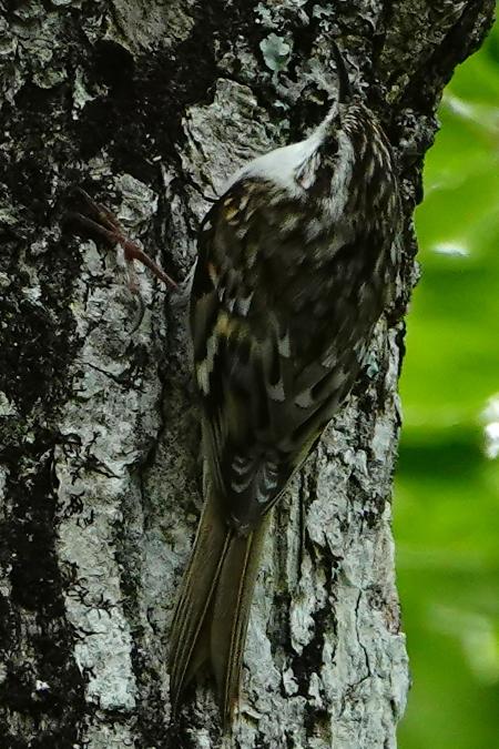 Grimpereau des bois  - Cédric Mroczko