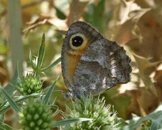 Amaryllis de Vallantin (Ocellé de la canche)  - Francis Bonnet