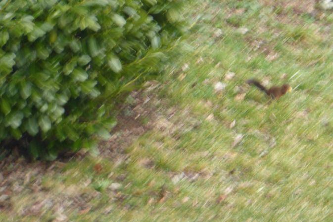 Ecureuil roux  - Michele Blanc