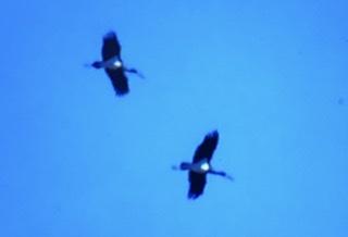 Cigogne noire  - Jean-Louis Verrier