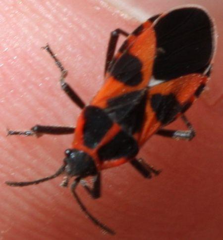 Tropidothorax leucopterus  - Rodolphe Liozon