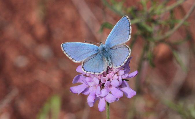 Argus (Azuré) bleu céleste  - Fabrice Merland
