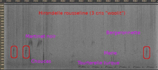 Hirondelle rousseline  - Cédric Mroczko