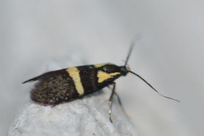 Dasycera oliviella  - Tineke Aarts