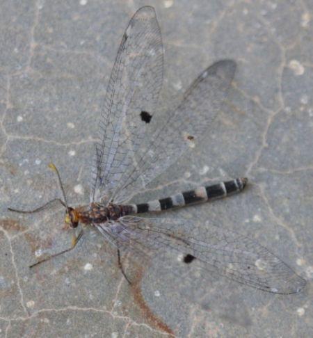 Megistopus flavicornis  - Rodolphe Liozon