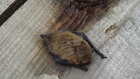 Pipistrelle commune  - Sylvie Kuegler