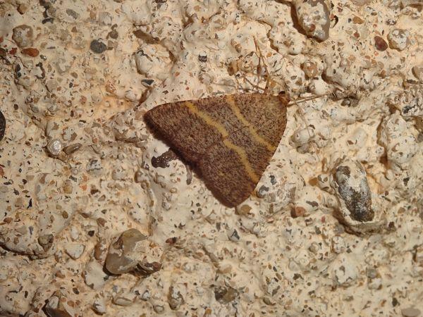 Petrophora narbonea  - Catherine Michels