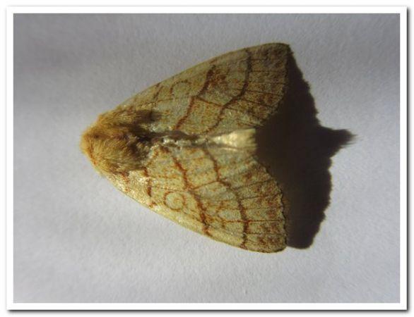 Tiliacea citrago  - Jean-Pol Niclot