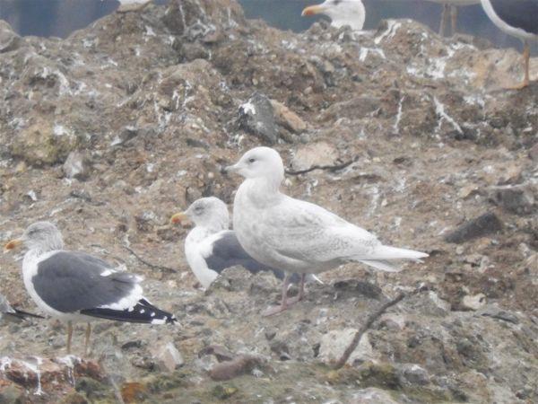 Goéland à ailes blanches  - Patrick Derrien