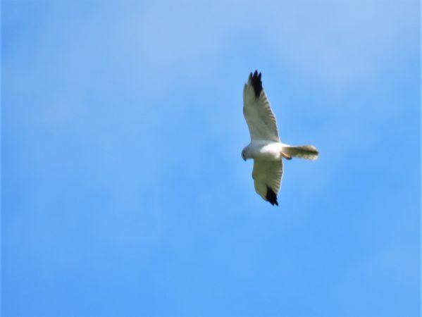 Busard pâle  - Thibaut Riviere