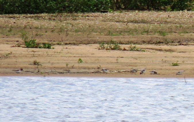 Bécasseau sanderling  - Thibaut Riviere