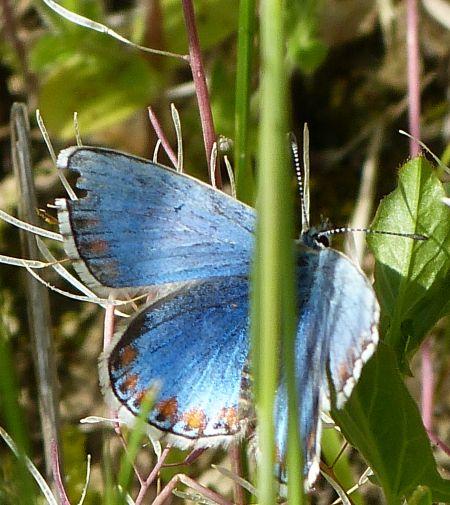 Argus (Azuré) bleu céleste