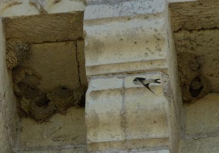 Hirondelle de fenêtre  - Georges Roca Filella