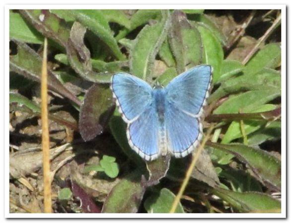 Argus (Azuré) bleu céleste  - Jean-Pol Niclot