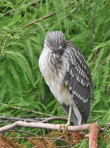 Bihoreau gris  - Pierre Cabard