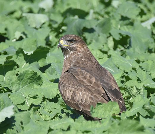 Buse variable  - Pierre Cabard