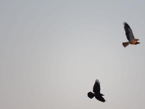 Aigle botté  - Thibaut Riviere