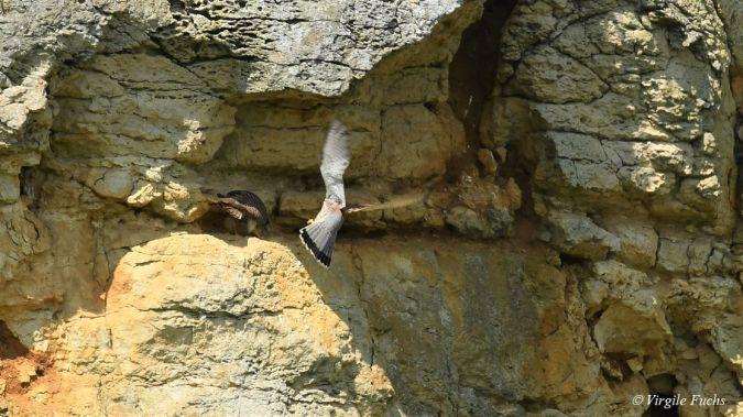 Faucon crécerelle  - Virgile Fuchs