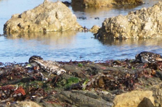 Pluvier bronzé  - Dominique Robard
