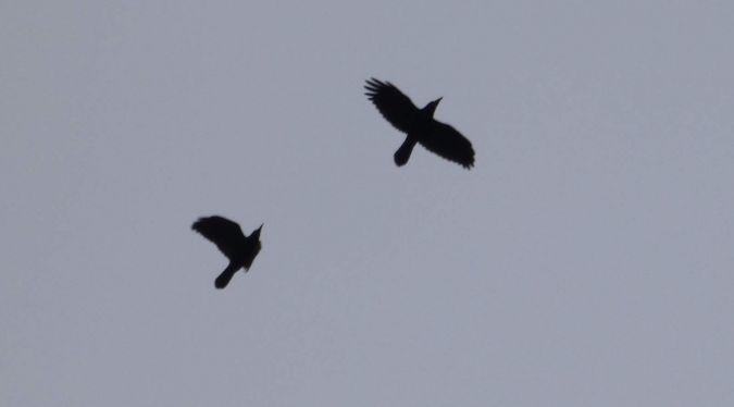 Corbeau freux  - Franck Salmon