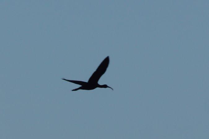 Ibis falcinelle  - Louis-Claude Bonnet