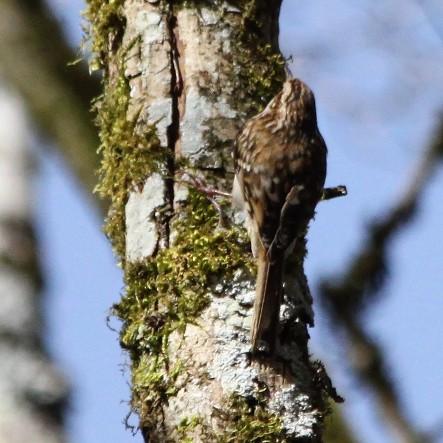 Grimpereau des bois  - Emeline Bouzendorf