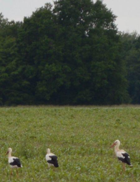 Cigogne blanche  - Maurice Lartigue