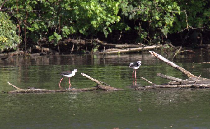 Black-winged Stilt  - Bernard Mex