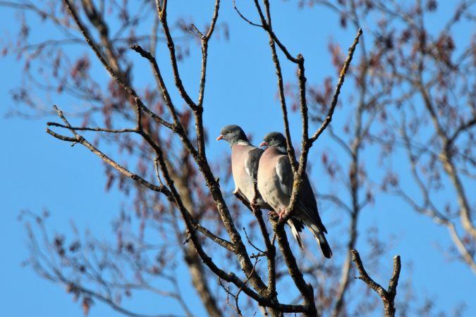 Pigeon ramier  - Denis Oberson